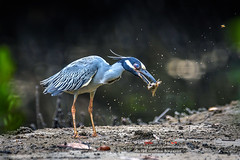 Eye poppin': Yellow-crowned Night Heron and crab breakfast (DSH jicho (Trinidad and Tobago)) Tags: morning trees green bird eye heron nature water leaves birds animals yellow night sunrise island photography wings nikon adult mud legs action bokeh wildlife ngc birding attack feathers feather crab ground explore mangrove trinidad caribbean winged wading herons trini trinidadandtobago yellowcrowned trinbago davidsteffanhuggins dshjicho