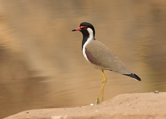 Red-wattled Lapwing - Vanellus indicus (Gary Faulkner's wildlife photography) Tags: redwattledlapwing indianbirds