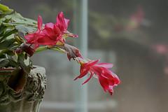 Reflections (gabi-h) Tags: pink stilllife flower green window indoors christmascactus gabih windowswednesday