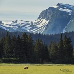 Wilderness (Scott Joshua Dere) Tags: bear wilderness grizzlybear