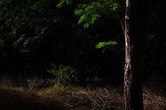 Morning Sunshine (Premnath Thirumalaisamy) Tags: tree leaves sunshine canon eos rebel leaf day bangalore kitlens sunny 1855mm karnataka lightandshadow cubbonpark bengaluru 550d t2i bangalorediaries