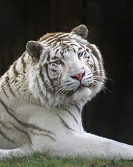Beautiful White tiger (patriciareniers) Tags: blue white animal cat zoo eyes wildlife tiger rare animalplanet eyecatcher