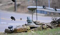 scatter (oakiedoakie) Tags: red black bird birds flying wing scatter