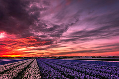 Holland Sunset (angheloflores) Tags: flowers light sunset sky holland netherlands colors beautiful clouds landscape explore fields flowerfield