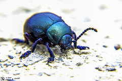 The Bluish Beauty (nicoheinrich86) Tags: blue black macro closeup bug insect licht klein bestof dof little zoom bokeh outdoor pov sony details small beetle tiny blau insekt schwarz insekten käfer 2016 fühler schimmern hx400v