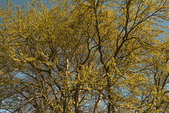 Blooming trees (Edita Ruzgas. Thanks for your visit.) Tags: blue sky sun beautiful leaves yellow nikon branches small shade buds blooming edita d7200 ruzgas