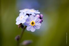 Purple Wildflower (johnlgardiner) Tags: park flower macro green purple national trust wildflower dyrham