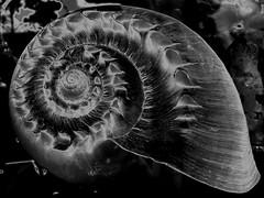 Anglų lietuvių žodynas. Žodis spiral-shelled reiškia spiralė-su kevalais lietuviškai.