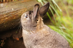 Sherman at Zuzu's burrow (Tjflex2) Tags: boy pets canada cute rabbit bunny bunnies nature girl vancouver mammal furry pretty bc friendship fuzzy conejo small adorable cuddly coelho playful sherman lapin usagi krolik kanin lagomorph toki lepus fenek iepure muyal kelinci ilconiglio coinin sungura leporidea