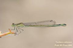 Sahara Bluetail - Ischnura saharensis (Aguesse, 1958) ( BlezSP) Tags: female type ischnurasaharensis saharabluetail