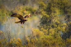Long-legged buzzard (malc1702) Tags: nature birds inflight wildlife grace buzzard birdsofprey wildlifesanctuary longleggedbuzzard wingspread largebirds nikond7100 tamron150600