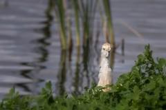Cattle Egret (elaine_calvert) Tags: bird explore egret cattleegret droh wlr dailyrayofhope kernwlr