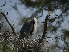 _DSC0373 (chris30300) Tags: france heron de pont parc oiseau camargue gau saintesmariesdelamer flamant provencealpesctedazur ornithologique