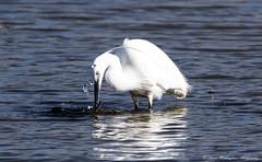 Little Egret (steven waddingham) Tags: bird fishing rutland