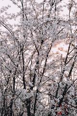 Cerasus 2016 Spring (envy) Tags: sunset spring shanghai   cerasus