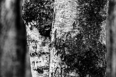 (91/366) Berkenbokeh (118/365) (MJ Klaver) Tags: trees blackandwhite nature zwartwit bokeh depthoffield photoaday m42 birch drenthe 135mm sonnar czj project365 oldlens ausjena manualfocuslens project366 carlzeissjenasonnar135mmf35 day91366 ddrlens 366the2016edition 3662016 31mar16 carlzeissjenasonnar135mmf35mcred