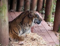 Tiger 5th March 2016 #2 (JDurston2009) Tags: zoo tiger devon sumatrantiger paignton paigntonzoo zoologicalgardens pantheratigrissumatrae paigntonzoologicalgardens