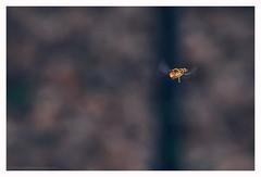 The art of flying (s1nano) Tags: motion macro nature insect movement dof bokeh flight greece hoverfly episyrphusbalteatus nikontc200 buginflight tamron90mmspmacrof25 nikond7000 nissinmf18 nissinmf18ringflash