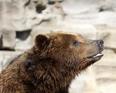 Loving the sunshine! (LeeLee 3680) Tags: detroitzoo grizzlybear