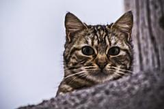 Callejero (Ignacio M. Jimnez (antes hermano Montgolfier)) Tags: portrait espaa cat spain retrato andalucia gato jaen andalusia ubeda