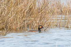 Geoorde Fuut-2110 (Djien) Tags: nederland vogels nl castricum noordholland blackneckedgrebe geoordefuut
