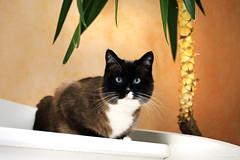 Eliot (Mariie76) Tags: orange plante snowshoe chat noir animaux marron blanc escalier palmier birman flin birmanie siamois tche museau yeuxbleus sacrdebirmanie