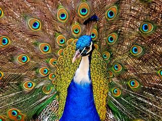 Pauw/Peacock(Ch)