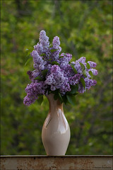 Easter lilac (Maryam Buzaladze) Tags: blue wild plant green yellow canon easter eos village blossom outdoor air fresh special lilac 10d serene traveling moment flover distant