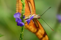 Julia Dryas (Rene Mensen) Tags: orange macro butterfly insect nikon julia nikkor drenthe emmen vlinder dierentuin dryas vlindertuin wildlands d5100
