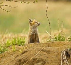 Eye on the Sky (Mannington Creek) Tags: red wild baby field animal fur cub wildlife den fox kit pup