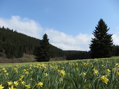 IMG_8600 (Bike and hiker) Tags: ardennen ardennes eifel hellenthal narzissen narcissen oostkantons rocherath olef krinkelt holzwarche jansbach bachtaler