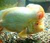 Bumpy Head (Emily K P) Tags: orange white fish chicago aquarium goldfish head bumpy shedd bump