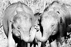 Brotherly love (cbaars11) Tags: family wild bw elephant monochrome animals canon asia brothers wildlife sri together massive huge giants holdinghands elephants srilanka trunks tamron prehistoric mammals muddy asianelephant brotherlylove wildanimals inthewild asianelephants srilankanelephants srilankanelephant holdingtrunks