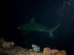 Tiburn (-Angie Z) Tags: mxico peces veracruz acuario acuariodeveracruz bocadelroveracruz acuariodebocadelro