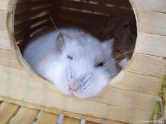 Hamster sleeping (AnimalPetFans) Tags: winter pet white animal animals dwarf hamster siberian russian ano russo chins criceto phodopus sungorus