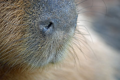 Capy Nose (MTSOfan) Tags: nose rodent whiskers capybara epz