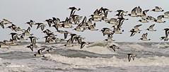 Scholeksters op Texel. #Texel #scholekster #wadden #waddenstrand #vogel #bird #birding #holland #justin #sinner #pictures #canon #sigma #nederlands #nature #natuur #strand #beach #zee #sea #waves #golven #amazing #oystercatcher #flight #vlucht #cute #love (JustinSinner.nl) Tags: pictures justin sea holland cute bird love beach nature strand canon wadden amazing waves vlucht birding flight natuur sigma zee oystercatcher op nederlands sinner texel vogel golven scholekster scholeksters waddenstrand