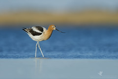 Get Dirty (santosh_shanmuga) Tags: wild bird nature water animal outdoors island nc nikon outdoor head wildlife north birding northcarolina aves spot dirty national american carolina dare pea 500mm outerbanks stalk muddy obx refuge nags nwr shorebird avocet peaisland d3s