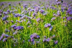 Lavender (elzauer) Tags: flower nature field germany landscape outdoors bavaria day farm growth lavander agriculture idyllic ruralscene