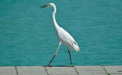 Little egret - Kis kcsag (kalbasz) Tags: bird nature water animal little outdoor moment egret balaton kiskcsag