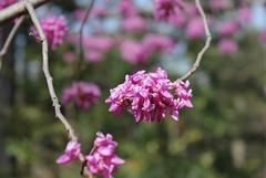 National Arboretum ~ Ching's Redbud - HBW! (karma (Karen)) Tags: trees washingtondc dof bokeh blossoms nationalarboretum redbuds 4spring hbw bokehwednesdays chingsredbud