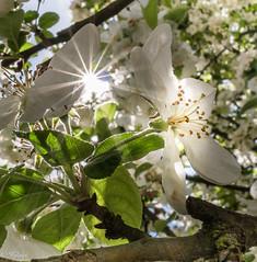 rayons du soleil  Spring# (Hlne Baudart) Tags: fleurs soleil spring flickrfriday