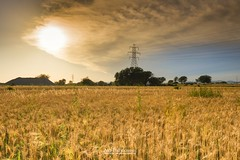 """""""Wheat, The Gold"""" (Ali's Photograpy) Tags: pakistan sunset sun beautiful field rural photography gold golden nikon wheat horizon d750 fields crops agriculture punjab nikkor f28 2470mm"""