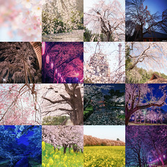spring sakura collection 2016 (it05h1) Tags: flowers flower nature japan cherry landscape spring blossom blossoms cherryblossom sakura cherryblossoms saitama cherrytree sakurascape japanscape it05h1