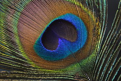 Peacock Plumage (Flickr Clicks by Al) Tags: macro colors feather peacock mondays plumage beginswiththeletterp