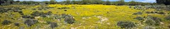 Yellow Flowers (W9JIM) Tags: flowers panorama explore bearvalley w9jim woolydaisy