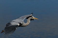 Reiher / Heron (urban wildlife) Tags: heron wildlife hamburg vgel reiher graureiher schreitvgel freilebendevgel kiefermuler vgelimflug nikond300s tamronsp70300