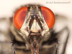 Eyes : House fly (Arvind_S) Tags: india macro nature animal animals closeup bug insect big eyes ngc bugs macros chennai raynox