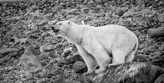 Polar_Bear_B&W_on_Rock_WEB-1 (idphotodoc) Tags: max beach norway wolf marlene svalbard debbie nsb artic polarbears longyearbyn