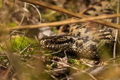 European Adder (Vipera berus) (wenzel_) Tags: eye nature europe reptile snake potd explore biology schwarzwald adder zoology herpetology naturelovers vipera blackforrest viperaberus berus herping natureaddict